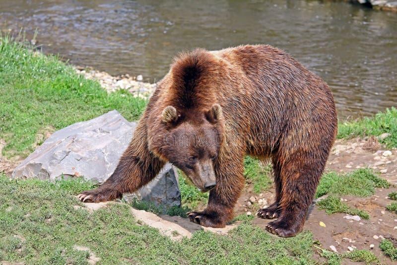 Медведь Brown стоковые фото