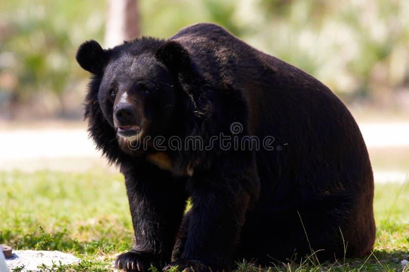медведь himalayan стоковое фото rf