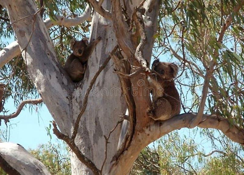 2 медведя коалы обнимая эвкалипт стоковое изображение