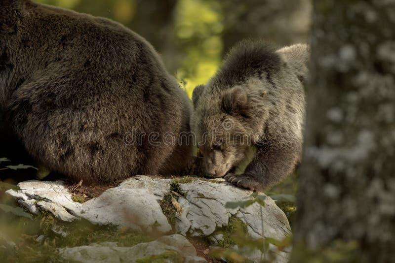 Медвежий медвежонок исследует вместе с матерью стоковые фото