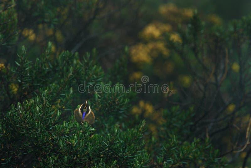 Медвежий шлем-крест, Oxypogon guerinii stueberi, красивый гребешок из Колумбии Птаха из Лос-Невадосского национального парка стоковое изображение