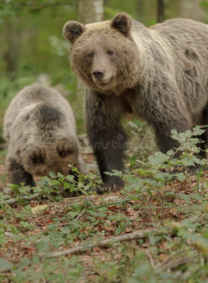 Медвежьи семьи в древнем лесу Словении стоковое фото