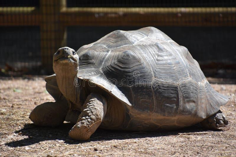 Медленная двигая черепаха стоковые фото