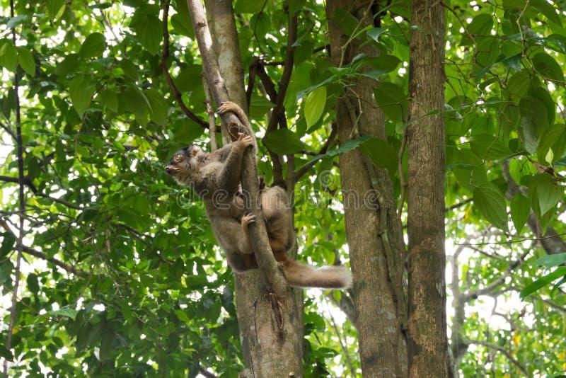 Медленное Loris играя на дереве стоковая фотография rf