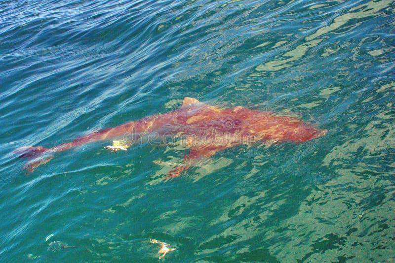 Медная акула на поверхности стоковая фотография