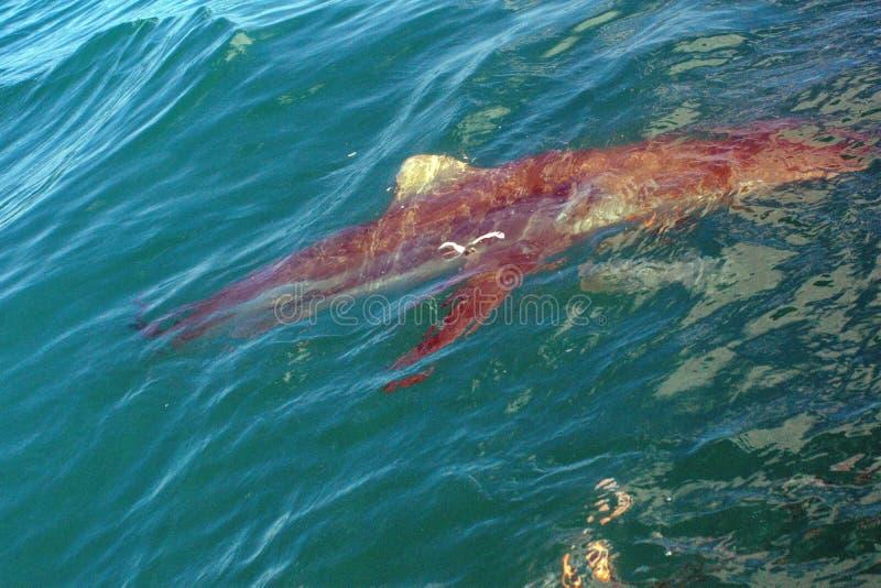 Медная акула на поверхности стоковые фотографии rf