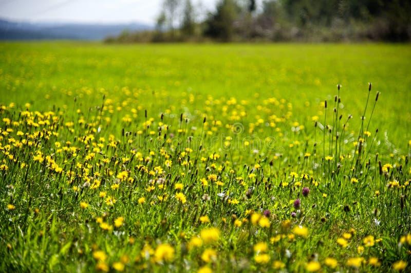 Медоу с цветами стоковое фото