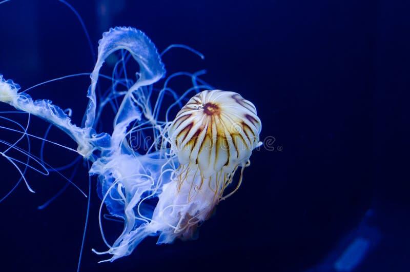 Медузы жаля крапивы плавая в темносинем океане стоковые фотографии rf