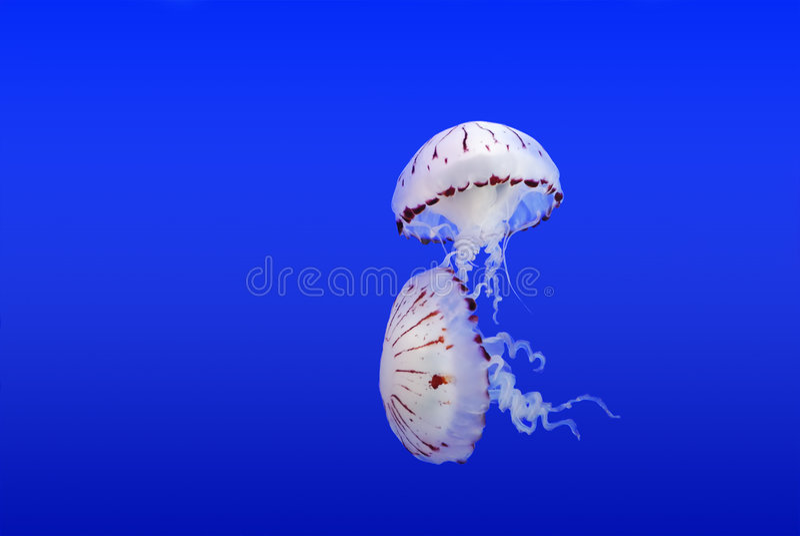 медузы стоковая фотография rf