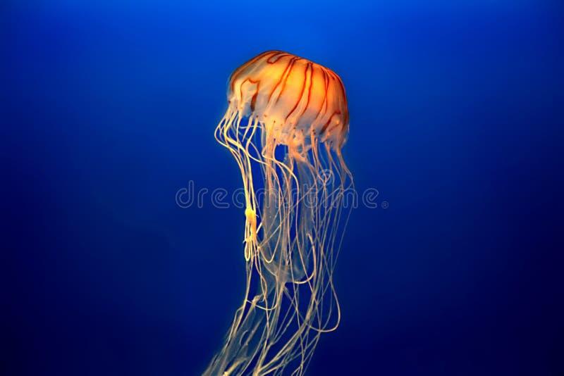 медузы стоковые фото