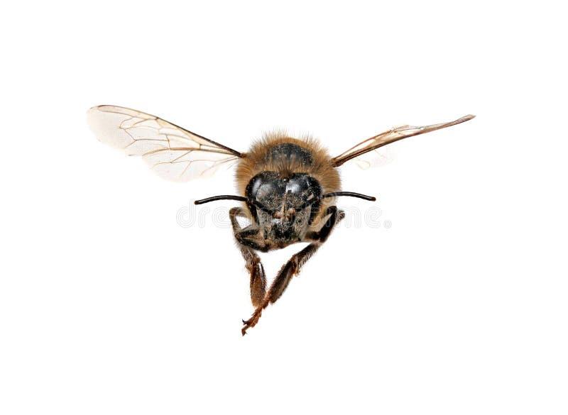 мед пчелы смотрящ правый вас стоковое изображение