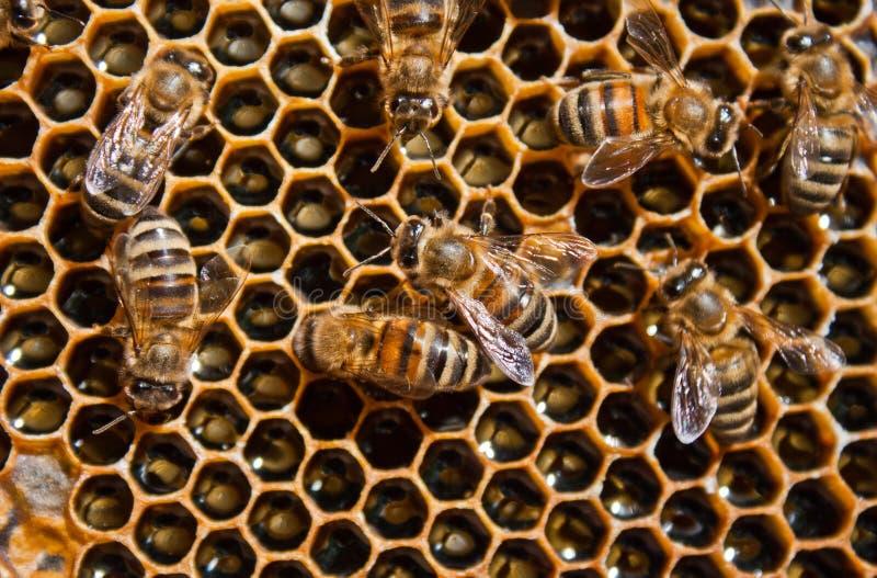 мед пчелы стоковое изображение rf