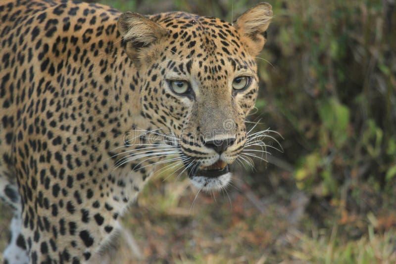 Международный sighting, идя вперед, умелый леопард охотника оно ` s уникально герой кожи стоковые фото