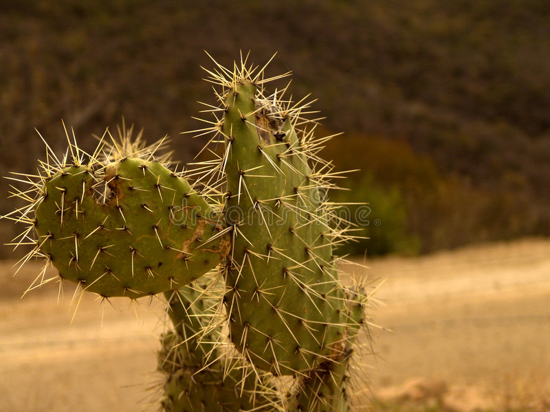 мексиканец кактуса Стоковые Изображения