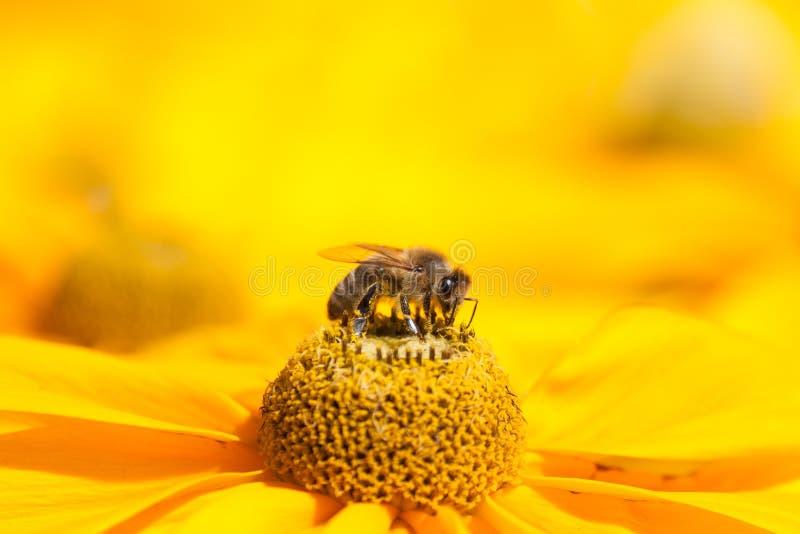 мексиканец меда пчелы астры стоковая фотография