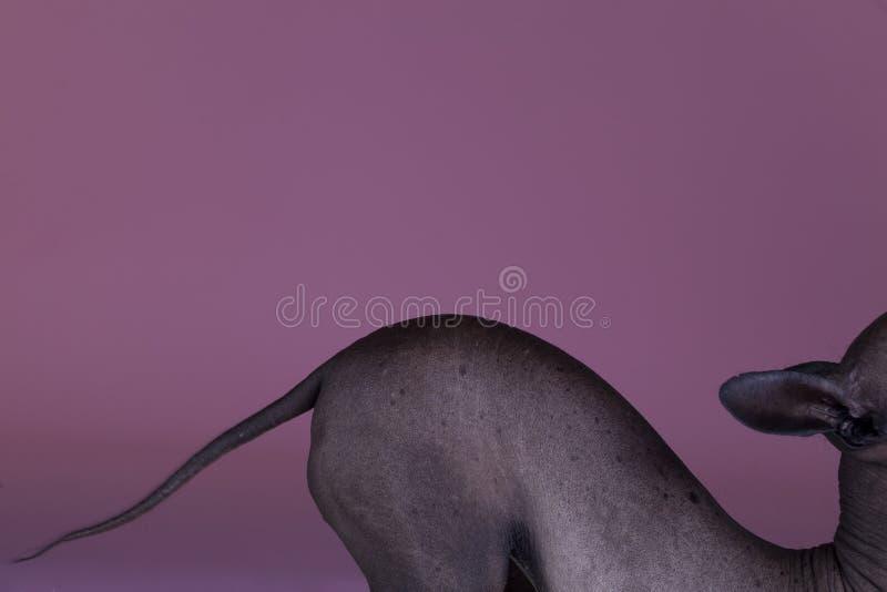 мексиканец собаки безволосый стоковые фото