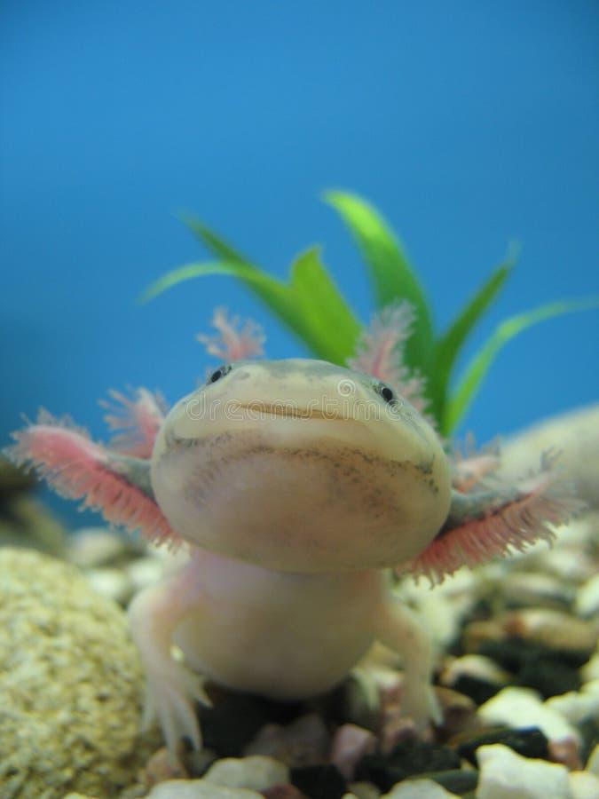 мексиканец axolotl стоковые фотографии rf