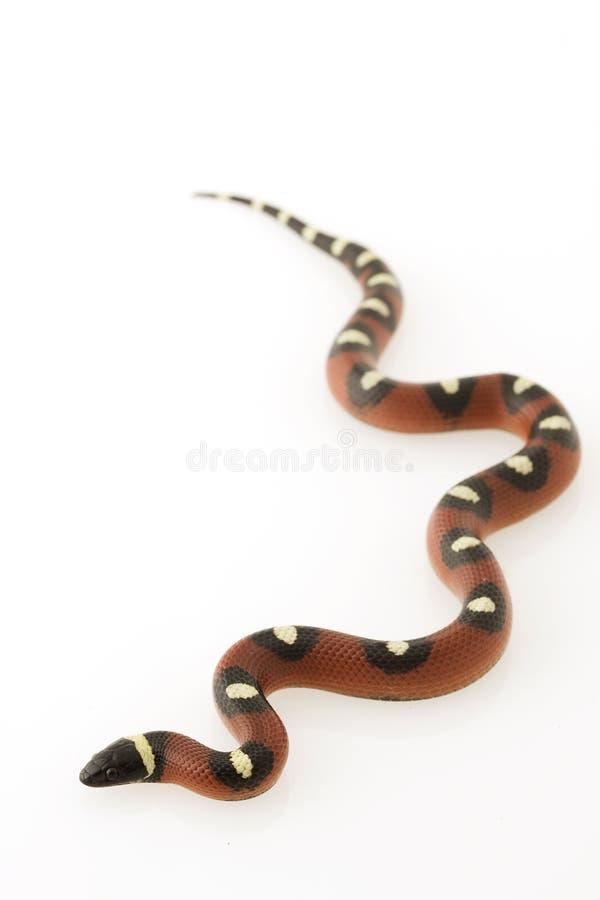 мексиканская запятнанная змейка молока стоковое изображение