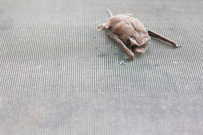 Мексиканская Свободн-Замкнутая летучая мышь стоковая фотография rf