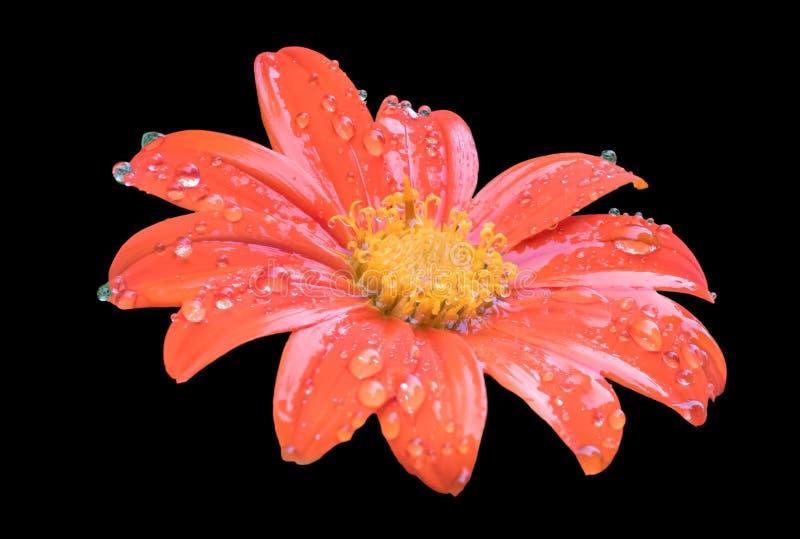мексиканский солнцецвет стоковое фото rf