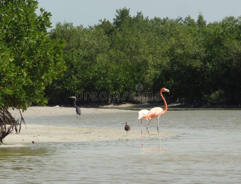 Мексиканский фламинго стоковое изображение