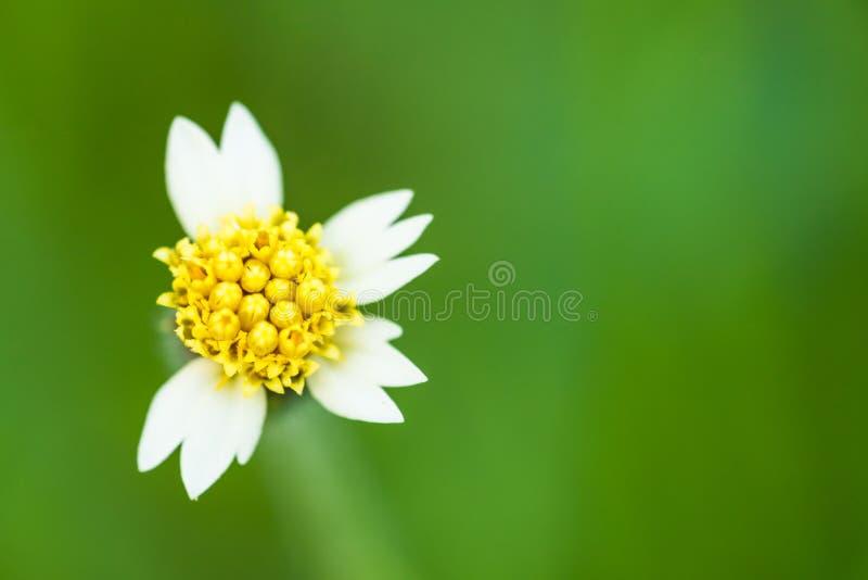 Мексиканский цветок маргаритки стоковое фото