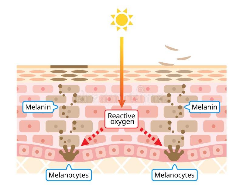 Механизм иллюстрации оборачиваемости клетки эпителия Меланин и melanocytes в человеческом слое кожи забота красоты и кожи иллюстрация штока