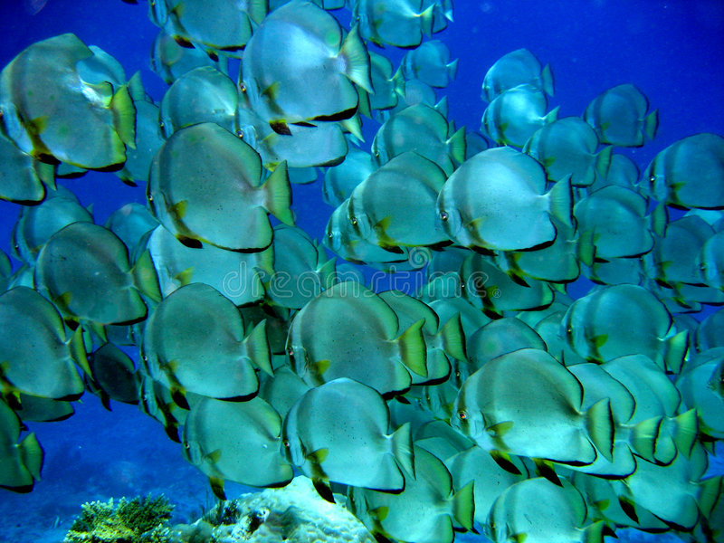 мелководье batfish большое стоковая фотография rf