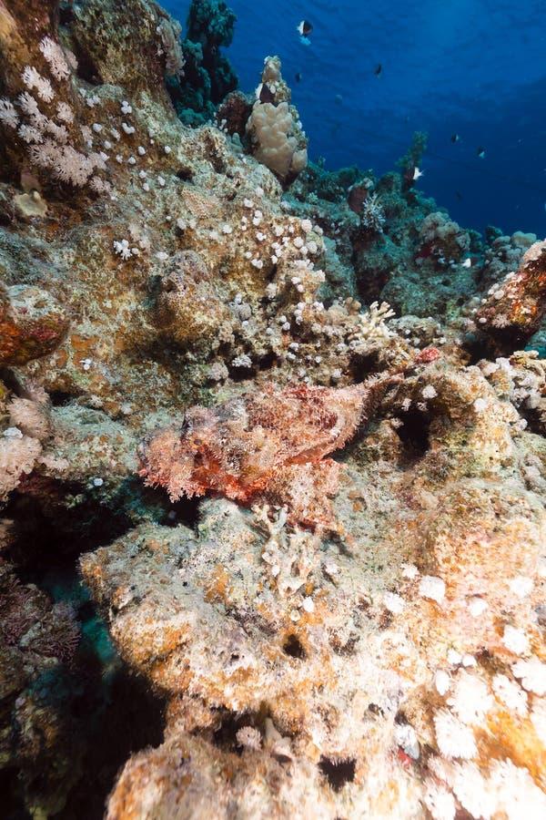 Мелкомасштабный scorpionfish и тропический риф в Красном Море. стоковые фотографии rf
