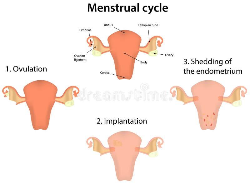 Менструальный цикл иллюстрация вектора