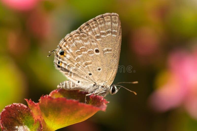 Меньшая деревянная бабочка сатира стоковые фотографии rf