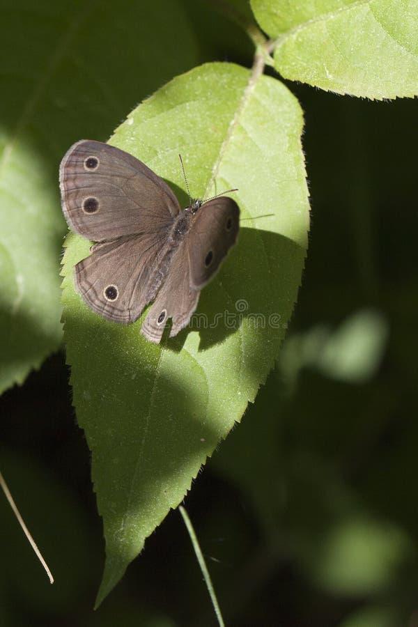 Меньшая деревянная бабочка сатира стоковая фотография