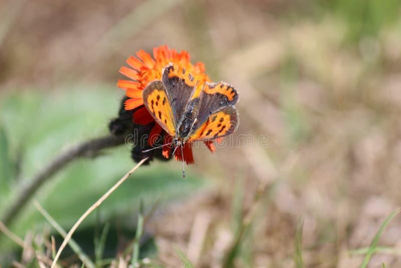 Меньшая оранжевая бабочка стоковые фото