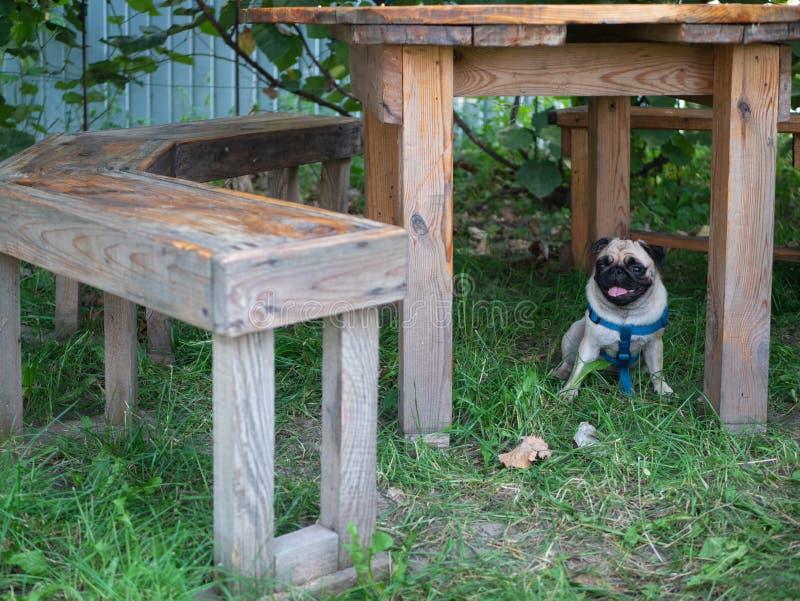 Меньшая прелестная милая собака мопса пряча под таблицей стоковые фото