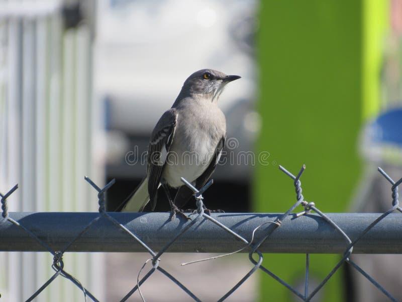 Меньшая птица Thrasher смотря вверх стоковое фото