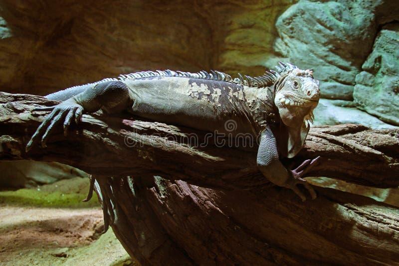 Меньшая Antillean игуана стоковое фото