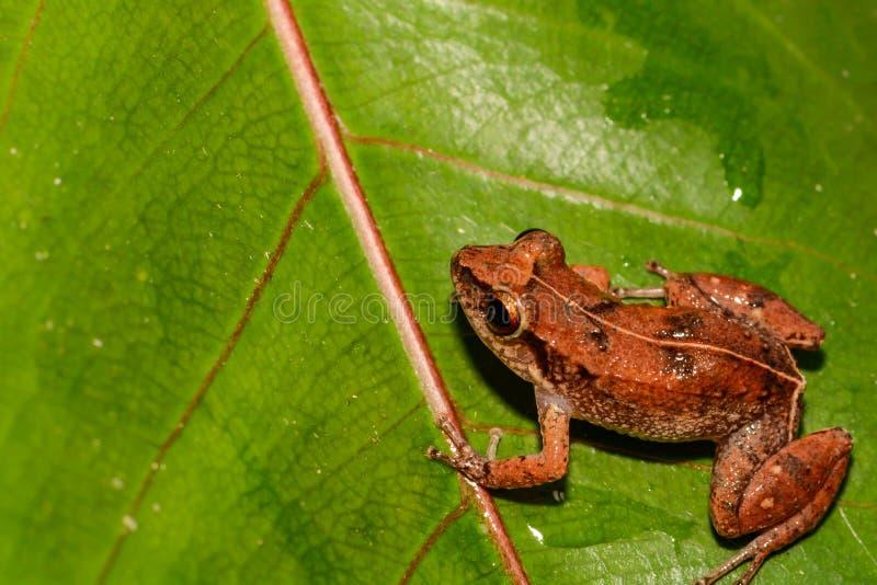 Меньшая Antillean свистя лягушка стоковые изображения