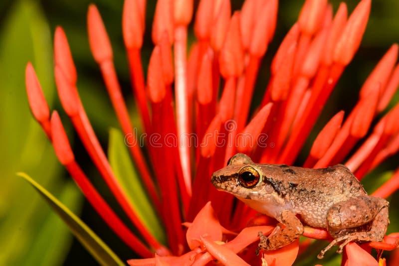 Меньшая Antillean свистя лягушка стоковая фотография