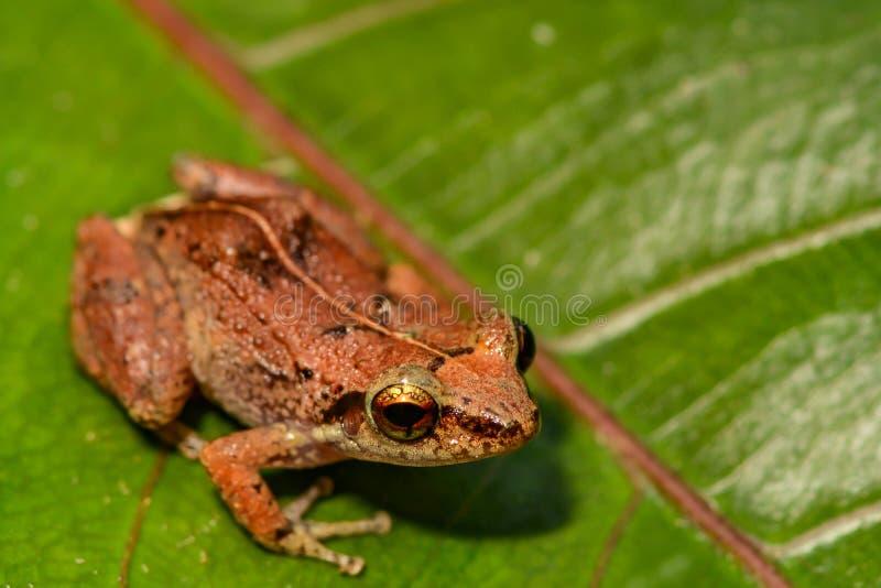 Меньшая Antillean свистя лягушка стоковые фото