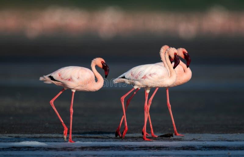 Меньшее имя фламинго научное: Несовершеннолетний Phoenicoparrus стоковые фотографии rf