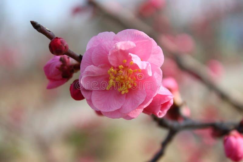 Меньшее розовое wintersweet стоковое изображение