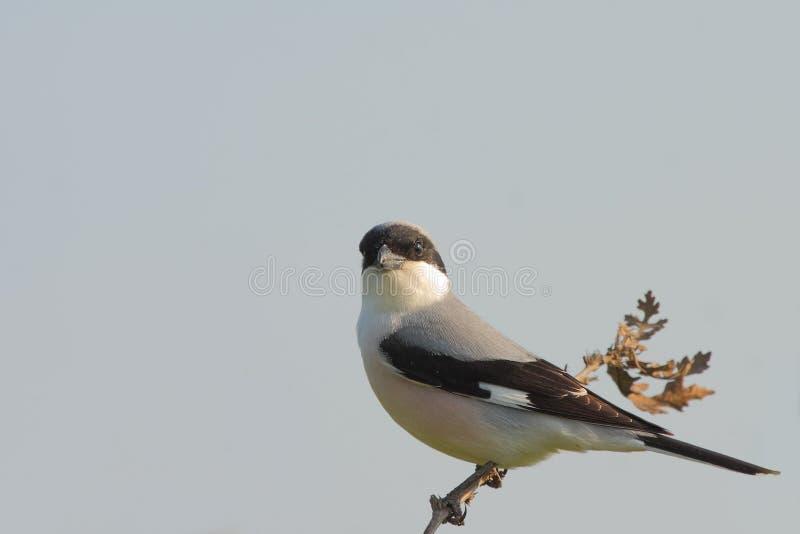 Download Меньшее серое Shrike (несовершеннолетний Lanius). Стоковое Фото - изображение насчитывающей shrike, естественно: 37928710