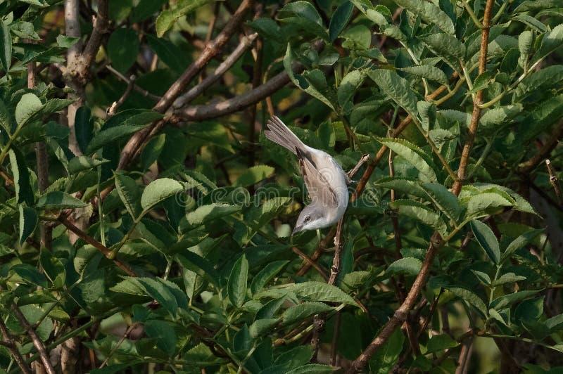 Меньшее curruca Сильвии певчей птицы Whitethroat Великобритания стоковые изображения rf