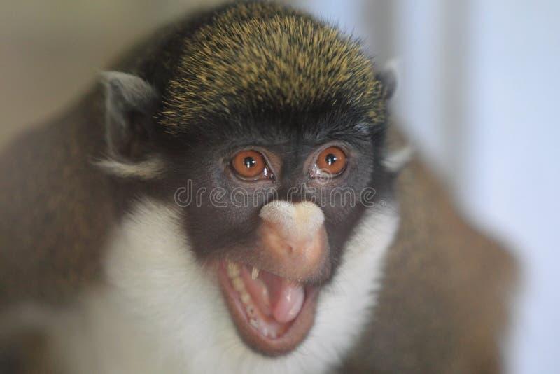Меньшие бело-обнюхали обезьяну стоковое фото