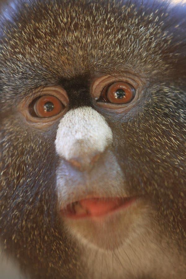 Меньшие пятн-обнюхали обезьяну стоковое фото rf