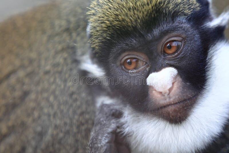 Меньшие пятн-обнюхали обезьяну стоковые фото