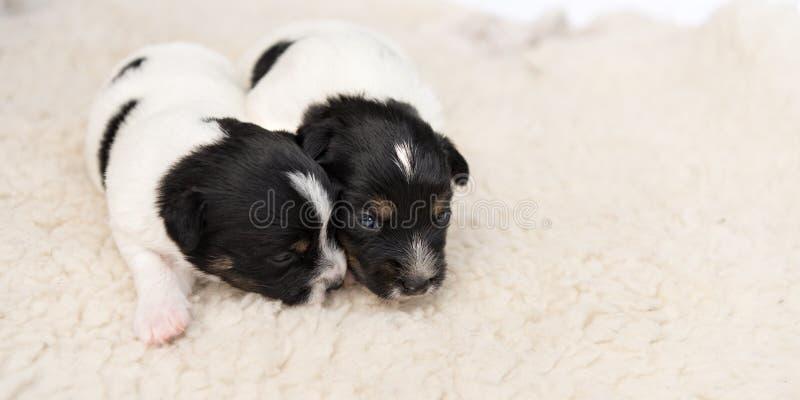 Меньшие собаки щенка Джек Рассела сторона лож 14 дней старая - - сторона на одеяле перед белой предпосылкой стоковые изображения rf