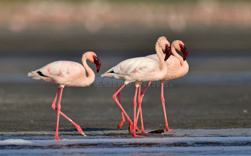 Меньшие фламинго идут на воду озера Natron Научное имя: Несовершеннолетний Phoenicoparrus стоковое изображение