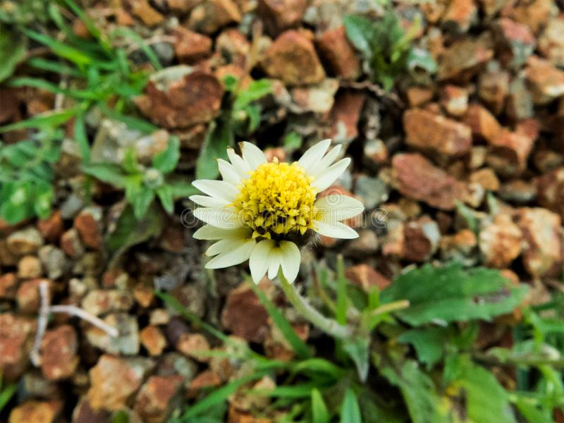 Меньший белый цветок с желтым цветнем в центре стоковая фотография rf