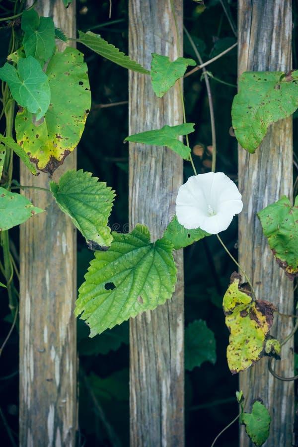 Меньший белый цветок на лозе рядом с загородкой стоковое фото rf